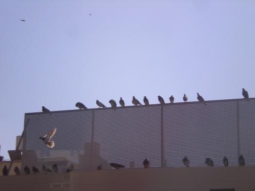 עופי ציפור