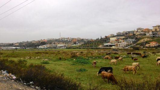 פרות רועות בכפר קרע Cows in the meadow at Kafr Kara