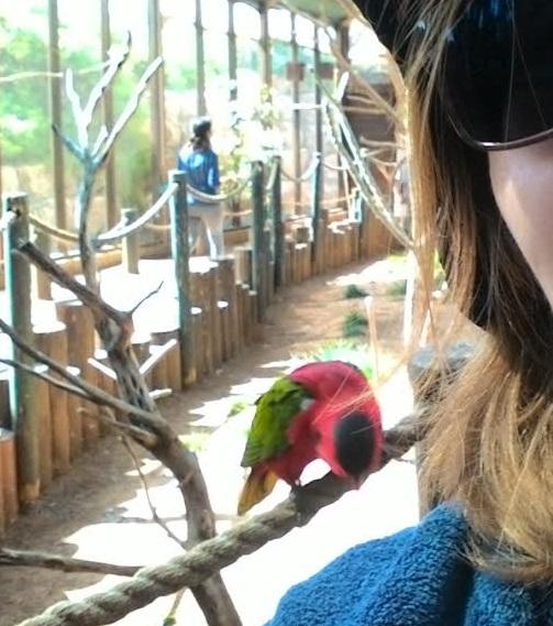 לוריקי חוקרת את כתפי A lorikeet is examining my shoulder