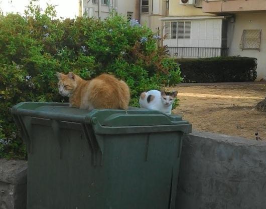 חתולות על מכסה פח זבל Cats on the lid of a bin