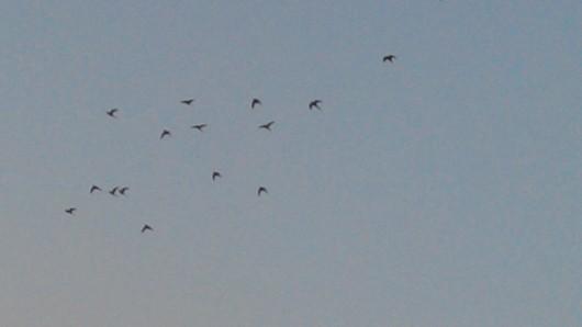 עורבים נמלטים השמיימה Crows flee to the sky