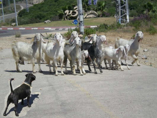 זיפו והעזים Zippo and the goats