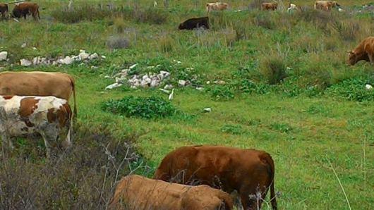 פרות רועות כמו פעם Cows grazing like in the old days