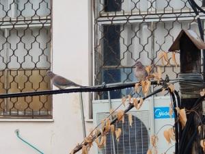זוג ציפורים על חוט טלפון   A pair of birds on a telephone wire